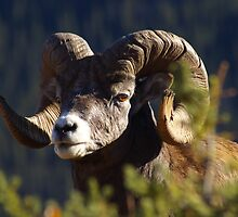 Rocky Mountain Sheep D by Rick Olson