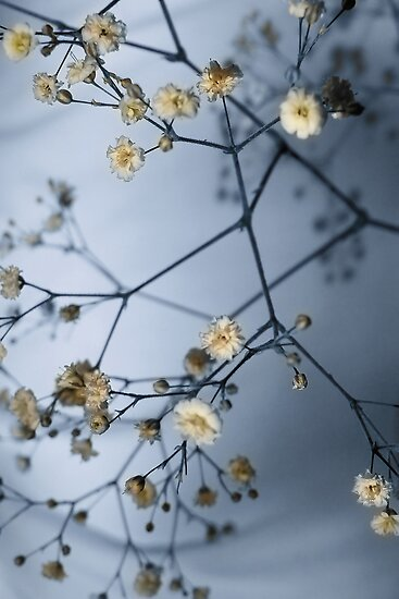 Gypsophila and Shadows by AnnieD
