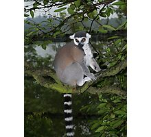 Ring Tailed Photographic Print