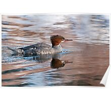 Common Merganser Poster