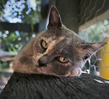 Bella the burmese beauty by xtie