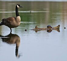 Canada Goose and Turtle - Ottawa, Ontario by Michael Cummings