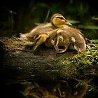 Mallard Ducklings by Michael Cummings