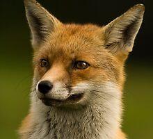 Fox portrait by George Stylianou