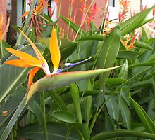 Floridian Birds of Paradise by Christine Frydenborg Dargon