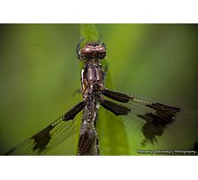 Injured Dragonfly Photographic Print