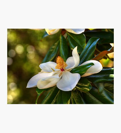 Southern Magnolia Blossom Photographic Print