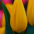 Terrific Tulips by Michele Duncan IPA