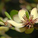 Banana Magnolia Bough by Bonnie T.  Barry