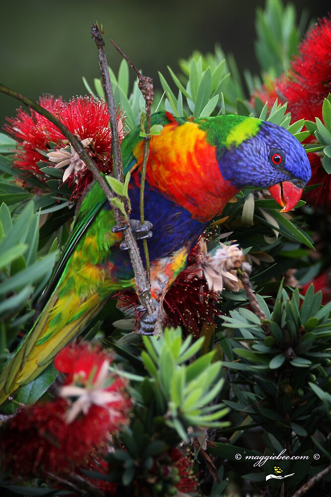 Lorikeet playing and tasting the nectar by Maggiebee