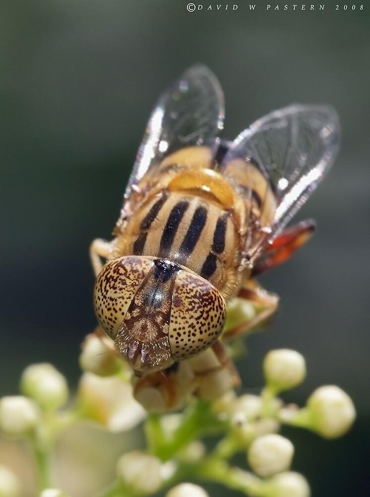 Native drone fly (Australian) by dpastern