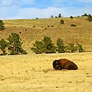 Tired Bull by Bill Morgenstern