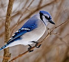 Blue Jay in Shrub by Michael Cummings