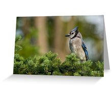 Blue Jay in Spruce Tree - Ottawa, Ontario Greeting Card