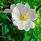 Burnet Rose, (Rosa pimpinellifolia) by Rod Johnson