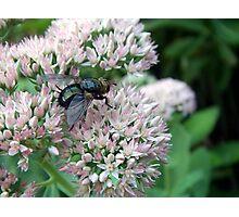 Tachinid Fly Closeup Photographic Print