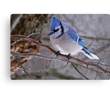 Blue Jay in Tree - Ottawa, Ontario Canvas Print