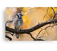 Blue Jay - Shirley's Bay, Ottawa, Ontario Canvas Print