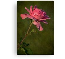 Full Blown Pink Rose with Textured Green Background Canvas Print