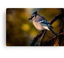 Evening Blue Jay Canvas Print