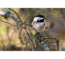 Black Capped Chickadee - Amherst Island, Ontario Photographic Print