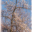 The Start of Cherry Blossom Time by Gerda Grice