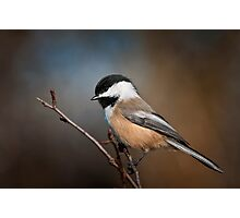 Black Capped Chickadee Photographic Print