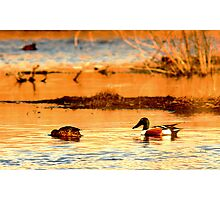 Northern Shoveler Ducks Photographic Print
