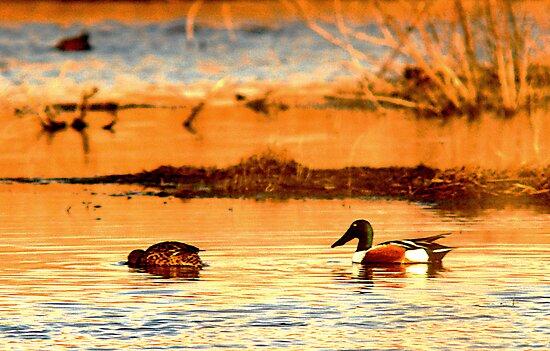Northern Shoveler Ducks by Ryan Houston