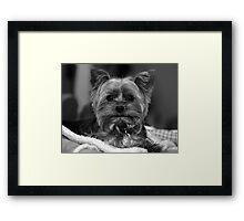 Yorkie - Black & White Framed Print