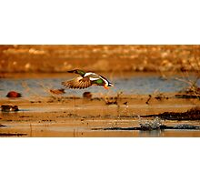 """It's a bird! It's a plane! It's a duck!"" Photographic Print"