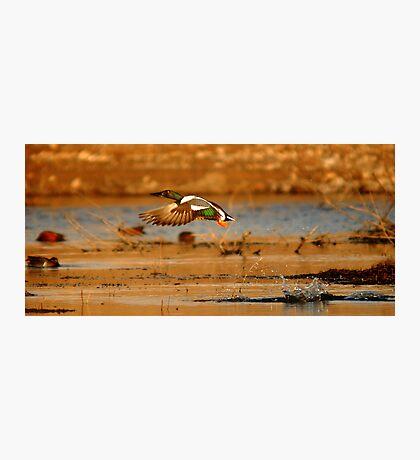 """It's a bird! It's a plane! It's a duck!"" Photographic Print"