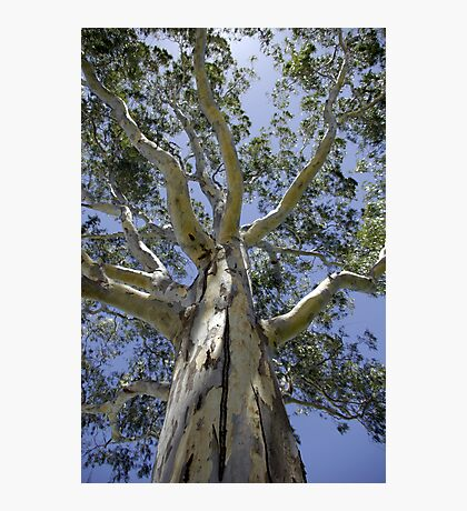 Eucalypt I - Tall Timber series Photographic Print
