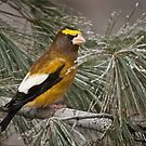 Evening Grosbeak On Pine 2 by Michael Cummings