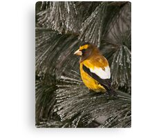 Evening Grosbeak On Pine Canvas Print
