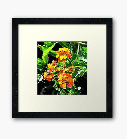 MULTI-COLORED LANTANA PLANT Framed Print