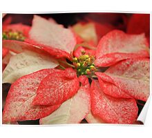 Another Variegated Poinsettia Poster