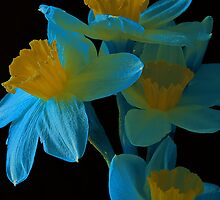 Blue and yellow Daffodills by Steve plowman