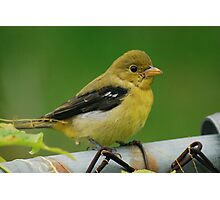 Baby Goldfinch Photographic Print