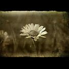 Grungy Daisy by Tim Norris