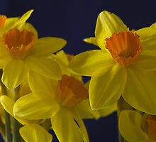 A movement of Daffodills by Steve plowman