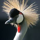 Grey Crowned Crane by Linda More