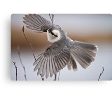 Gray Jay Take Off Canvas Print