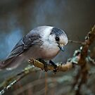 I See You - Gray Jay by Michael Cummings