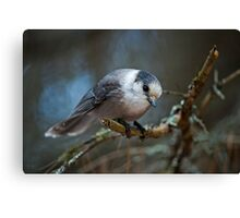 I See You - Gray Jay Canvas Print