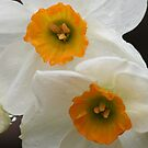 inside a daffodil by Christopher  Ewing