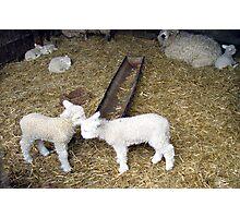 New born Lambs Photographic Print