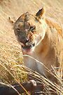 Lion at a Wildebeest Kill, Maasai Mara, Kenya  by Carole-Anne