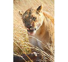 Lion at a Wildebeest Kill, Maasai Mara, Kenya  Photographic Print