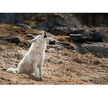 Howling Arctic Wolf Photographic Print